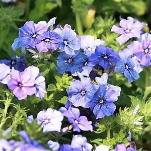 Keimzeit Saatgut De : sommerphlox 39 nana blue 39 ~ Lizthompson.info Haus und Dekorationen