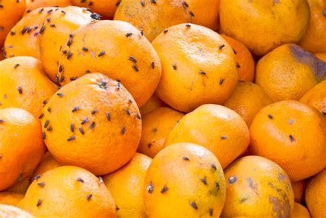 fruchtfliegenfalle selber machen ohne essig fruchtfliegenfalle selber machen der gute tipp fruchtfliegen vermeiden fruchtfliegenfalle