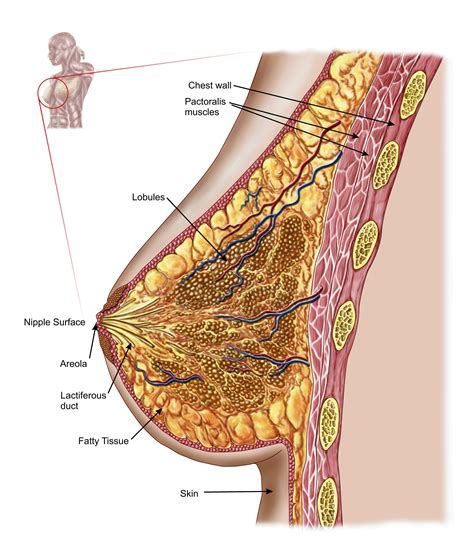 The Female Breast Definition And Anatomy