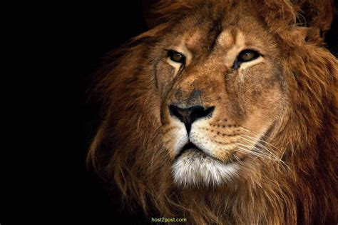 Lion Black And White Hd Wallpapers For Pc 6456