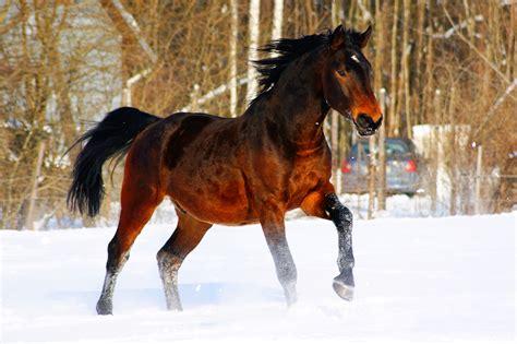 Latvijas zirgs — Vikipēdija