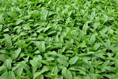 Knoeterich Sorten Pflege Pflanzen Der Bluehenden Staude by Kn 246 Terich 187 Pflanzen Pflegen Vermehren Und Mehr