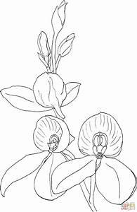 Dibujo de Orquídea Disa Kewensis para colorear | Dibujos ...
