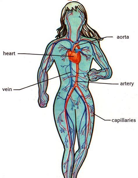 circulatory system unit   human body circulatory