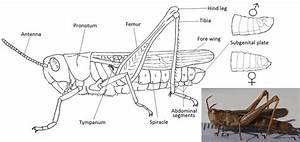32 Diagram Of A Grasshopper With Label