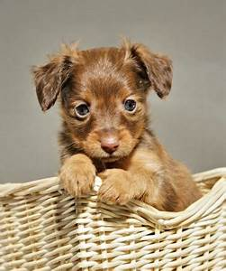 RUSSKY TOY   RUSSIAN TOY TERRIER/RUSSKY TOY   Pinterest