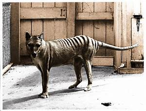 The last of the Tasmanian tigers, Benjamin, photographed ...