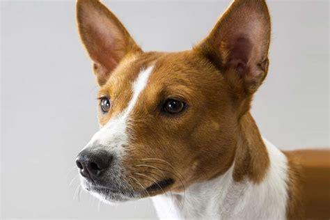 basenji shedding a lot basenji breed information american kennel club