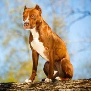 Dog Fighting Breeds. Learn what breeds of dog were used ...