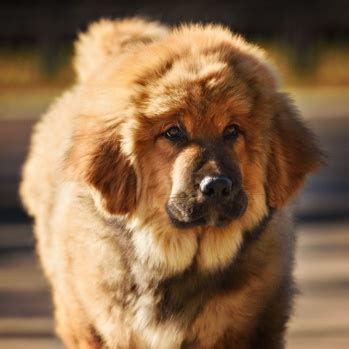 tibetan mastiff breed information characteristics heath