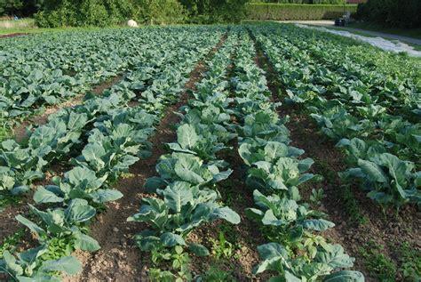 cuisiner un chou romanesco les jardins de priape des légumes pour l 39 automne choux romanesco et laitues