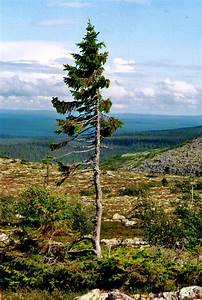9,500-Year-Old Tree Found in Sweden Is The World's Oldest ...