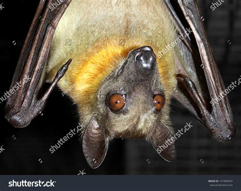 Fruit Bat Hanging Upside Down Stock Photo 141985054
