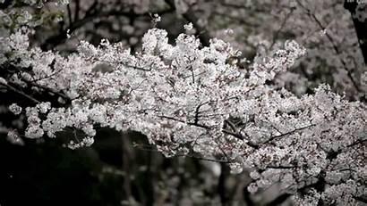 Cherry Blossoms Blossom Cinemagraphs Hypnotic Capture Abc