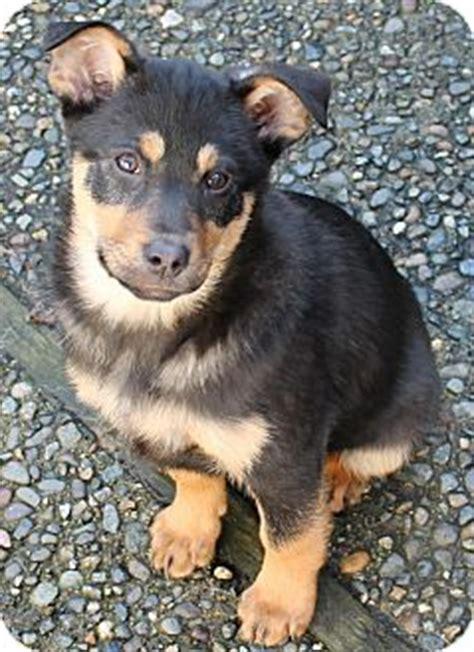 Australian Kelpie Info Puppies Mix Temperament Pictures