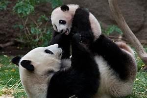 Baby Giant Pandas In The Wild | www.pixshark.com - Images ...