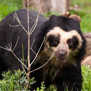 Spectacled Bear (Tremarctos Ornatus)   about animals