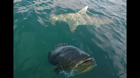 shark grouper goliath hammerhead giant
