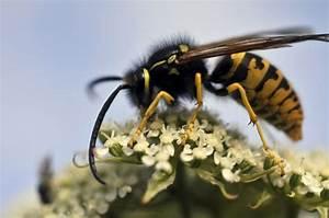 Gift Für Wespen : wespen nerven sind sie f r irgendwas n tzlich was ist was ~ Whattoseeinmadrid.com Haus und Dekorationen