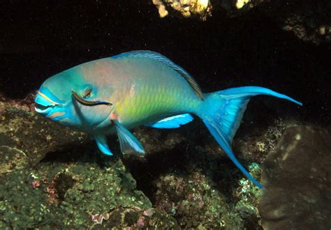 noaa  hawaiian reef fish possibly overfished hawaii