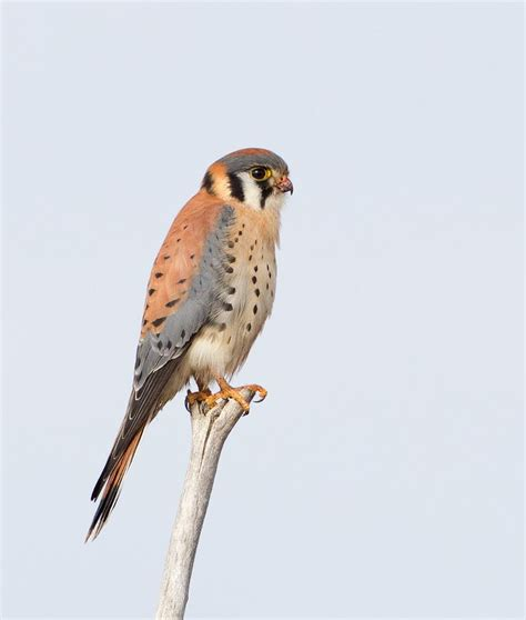 22 best images about birds of prey in wisconsin to