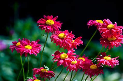 chrysanthemum pyrethrum daisy flowers dalmatian control pest cinerariifolium chrysanthemums genus painted use