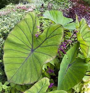Types Of Elephant Ear Bulbs What Are The Different