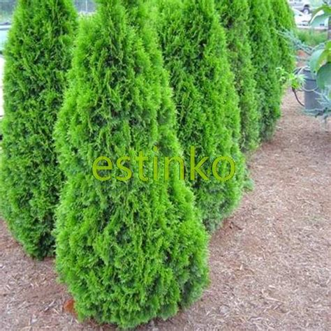 small conifer hot selling 50pcs cypress trees seeds conifer seeds diy home garden free shipping in bonsai from
