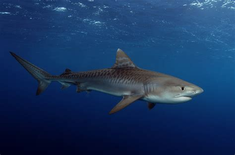 25 Tiger Shark Pictures And Hd Wallpapers. Living Room Sets. The Best Living Room Design. Oak Cabinets Living Room. Row House Living Room. Jhoola For Living Room. Painting Living Room Grey. Living Room Ideas With Brown Sofa. Easy Chairs For Living Room
