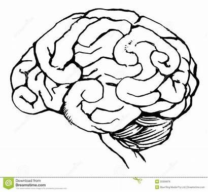 Brain Human Sketch Drawing Neuroanatomy Coloring Royalty