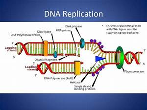 Making New Dna  Dna Replication  Biology Study Material