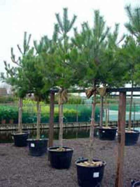 pinus nigra ssp nigra hochstamm oesterreichische