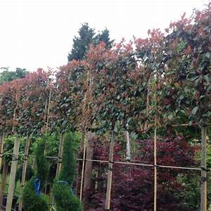 Photinia Red Robin : photinia red robin pleached green mile trees green mile ~ Michelbontemps.com Haus und Dekorationen