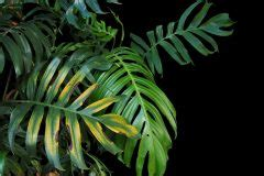Monstera Gelbe Blätter by Monstera Bekommt Gelbe Bl 228 Tter 187 Ursachen Ma 223 Nahmen