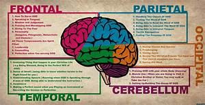 Brain Anatomy Wallpaper  U00b7 U2460 Wallpapertag