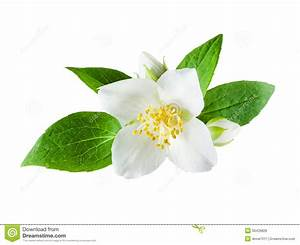 Jasmine Flower On White Background Stock Photo - Image of ...