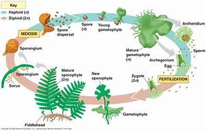 Bharasamy U0026 39 S Creative Development  Life Cycle Of A Fern And Research