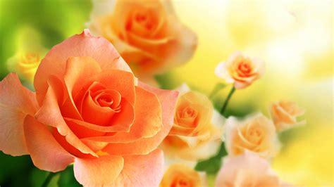 Beautiful Orange Roses Wallpapers by Orange Roses Wallpapers Wallpaper Cave