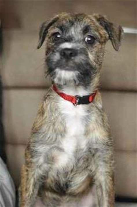 bossi poo boston terrier poodle mix info temperament
