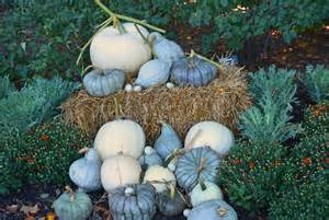 Varieties Of Pumpkins For Cooking by Tips For Growing White Pumpkins Shawna Coronado