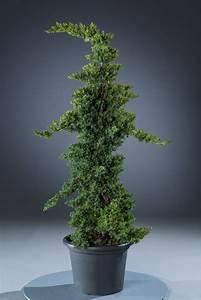 Kleinwüchsige Immergrüne Hecke : zwergwachholder st mmchen juniperus procumbens nana ~ Lizthompson.info Haus und Dekorationen