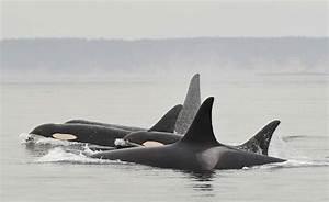 Emergency Order Aims To Protect Resident Orcas