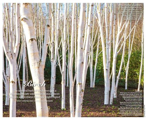 types of birch trees white birch tree bark www pixshark com images galleries with a bite