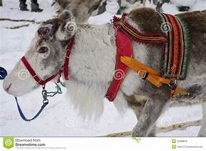 Reindeer In Harness Prepared For The Sled Stock Image