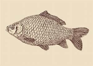 Carp Fish Drawing Vector Illustration Stock Vector - Image ...