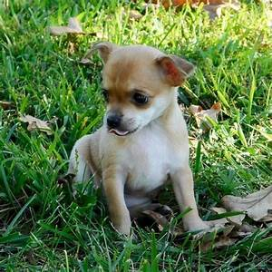 Cheap Chihuahua Puppies For Sale Online