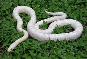 Rắn Ngô Snow Motley Corn Snake - poppetshop.vn