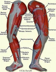 Upper Leg Muscles Anatomy