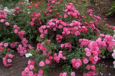rosier d 233 corosier emera en pot plantes ext 233 rieures