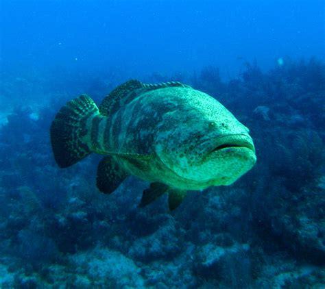 diving scuba largo key reef grouper goliath fla 200lb molassas